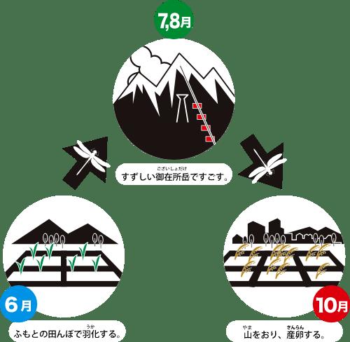6月:ふもとの田んぼで羽化する。7,8月:すずしい御在所岳ですごす。10月:山をおり、産卵する