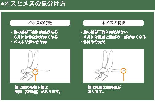 ●オスとメスの見分け方 ♂オスの特徴 ・腹の基部下側に突起がある ・8月には体全体が赤くなる ・メスより鮮やかな赤 雄は腹の期部下側に 突起(交尾器)があります。 ♀メスの特徴 ・腹の基部下側に突起がない ・8月には腹部と胸部の一部が赤くなる ・体はやや太め 雌は尾端に交尾器が あります。