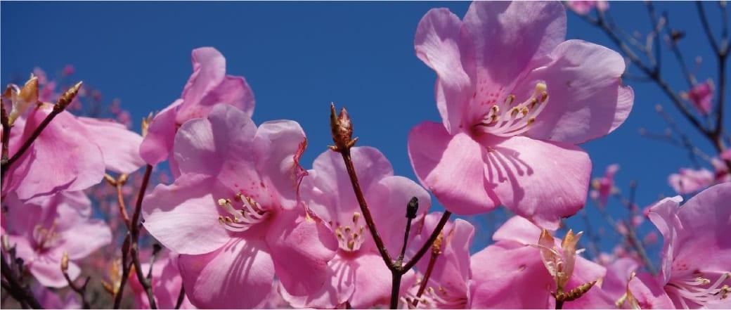 The Flowers of Mt. Gozaisho